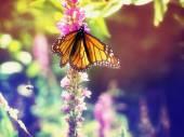 Monarch Butterfly on purple flowers — Foto Stock