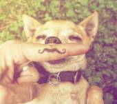 Cute chihuahua with mustache finger — Stock fotografie