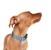 Min pin with blue collar on — Stock Photo