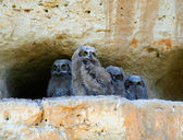 Great horned owl babies on cliff — Stock Photo