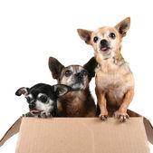 три чихуахуа в картонной коробке — Стоковое фото