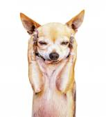 Funny chihuahua face — Stock Photo