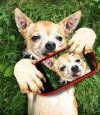 Lindo chihuahua teniendo selfie — Foto de Stock