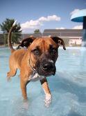 Boxer swimming in public pool — Foto Stock