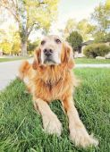 Golden retriever on front lawn — Stock fotografie