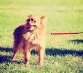 Cute pomeranian at park — Stock Photo