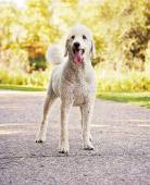 Poodle in park — Stock Photo