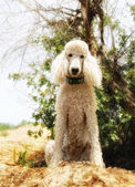 Poodle sitting in dog park — Stock Photo