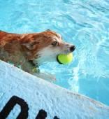 Cute dog at swimming pool — Stock Photo