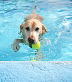 Labrador retriever swimming at pool — Stock Photo