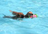 Dog having fun at swimming pool — Stock Photo