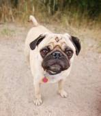Pug at local park — Stock Photo
