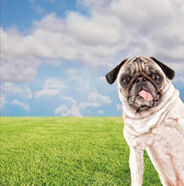 Pug at a local park — Stock Photo