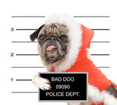 Pug in a santa suit — Stock Photo
