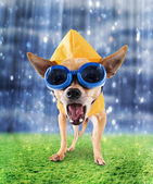 Chihuahua with raincoat and goggles on — Stock Photo
