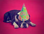Boston terrier with party hat — Stock Photo