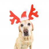 Dog dressed up in reindeer antlers — Stock Photo