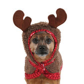 Dog dressed up as reindeer — Stock Photo