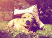 Chihuahua com chapéu de marinheiro de papel — Foto Stock