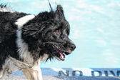 Hund ha roligt vid pool — Stockfoto