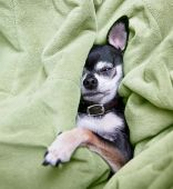 Chihuahua napping in blanket — Foto de Stock