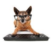 Chihuahua se mezclan con los anteojos en computadora — Foto de Stock