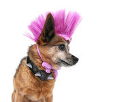 Chihuahua with mohawk punker hairdo — Stock Photo