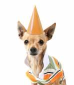 Chihuahua in shirt and birthday hat — Stock Photo