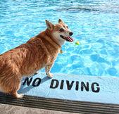 Dog at pool — Stockfoto