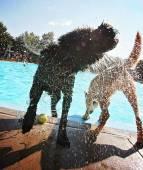 Dog at local public pool — Foto de Stock