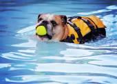 Dog at local public pool — Stockfoto