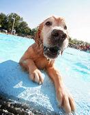 Dog at swimming pool — Foto de Stock