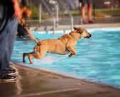 Dog at swimming pool — Stock fotografie