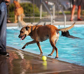 Dog at swimming pool — ストック写真
