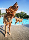 Dog at swimming pool — Stockfoto