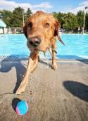 собака с удовольствием в бассейне — Стоковое фото