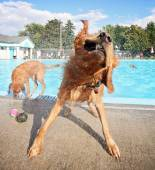 Dogs at pool — Foto de Stock