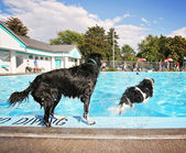 Dogs at pool — Stock Photo