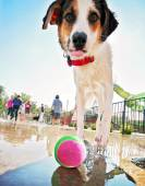 Dog at local public pool — Photo