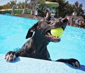 Dog at local public pool — Stock Photo