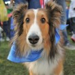 Collie dog at local park — Stock Photo #53630033