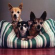 Three dog pals in dog bed together — Stock Photo #53631451