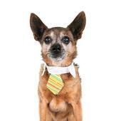 Chihuahua wearing tie — Stockfoto