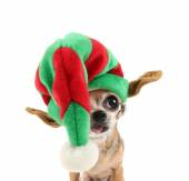 Chihuahua in christmas hat — Stock Photo