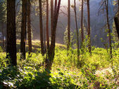 Forest with sun shining through — Stock Photo
