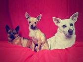 Três chihuahuas no cobertor — Foto Stock