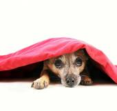 Chihuahua dog under red blanket — Stock Photo