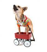 Chihuahua with tiny wagon — Stock Photo