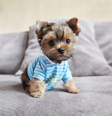 Yorkie in shirt on couch — Stock Photo