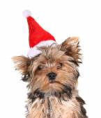 Yorkshire terrier in chrismas hat — Stok fotoğraf